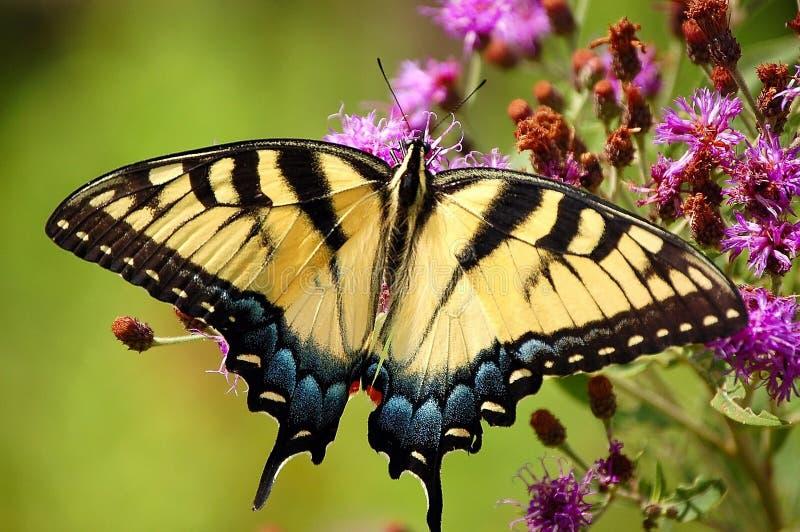swallowtail tygrys fotografia stock