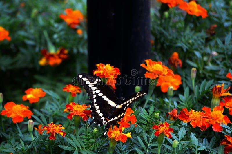Swallowtail v стоковое изображение