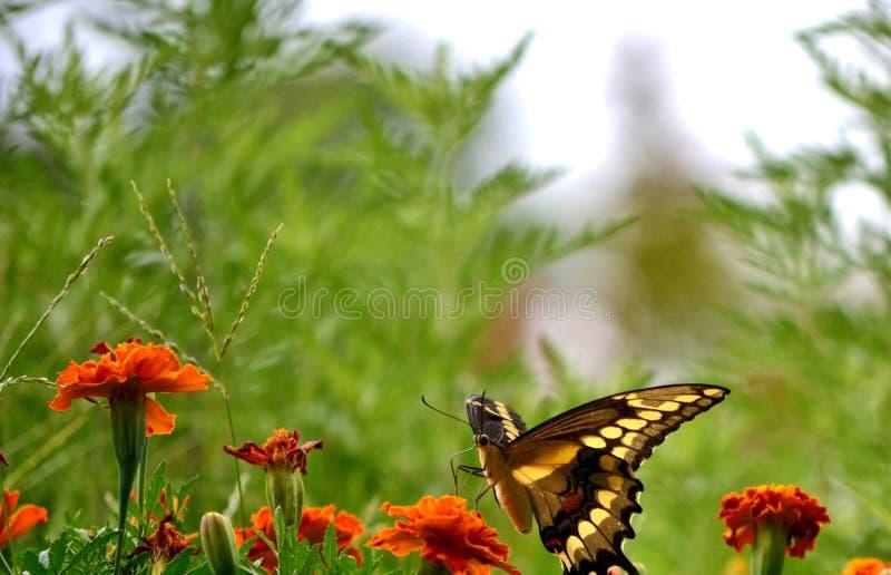 Swallowtail VI стоковые изображения