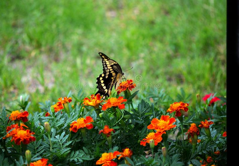 Swallowtail VII stock photo