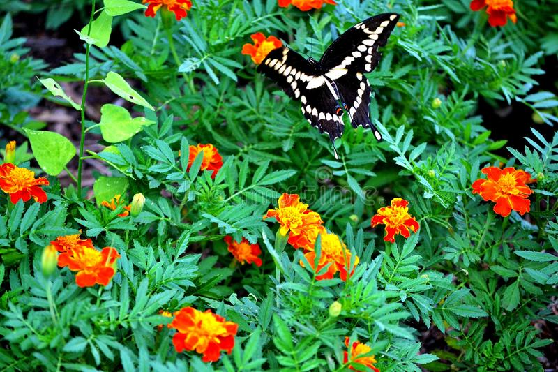 Swallowtail VIII royalty free stock photos