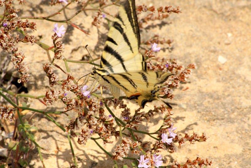 Swallowtail vitfjäril arkivbilder