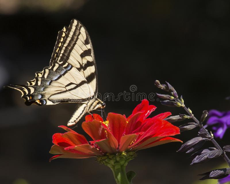Swallowtail Western Tiger stock photography