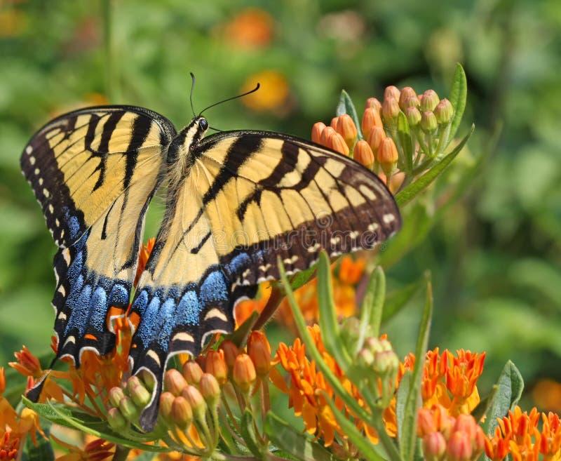 swallowtail wschodni tygrys obraz royalty free