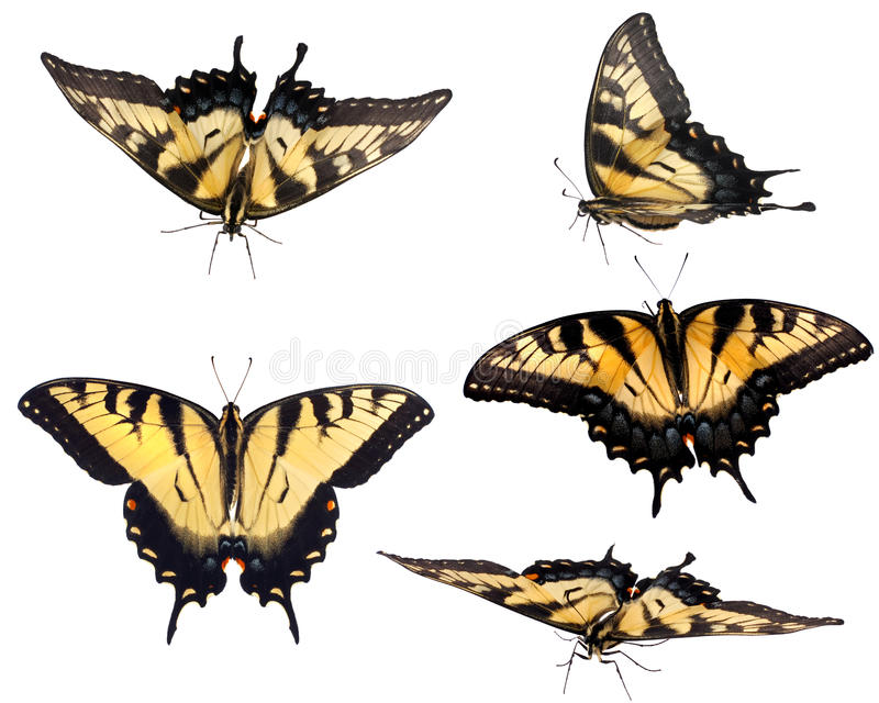 swallowtail wschodni tygrys fotografia royalty free