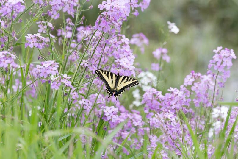 Swallowtail zachodni Tygrysi motyl obraz royalty free