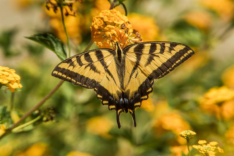Swallowtail zachodni Tygrysi motyl fotografia royalty free