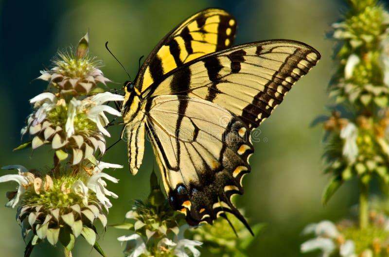 Swallowtail zachodni Tygrysi motyl fotografia stock