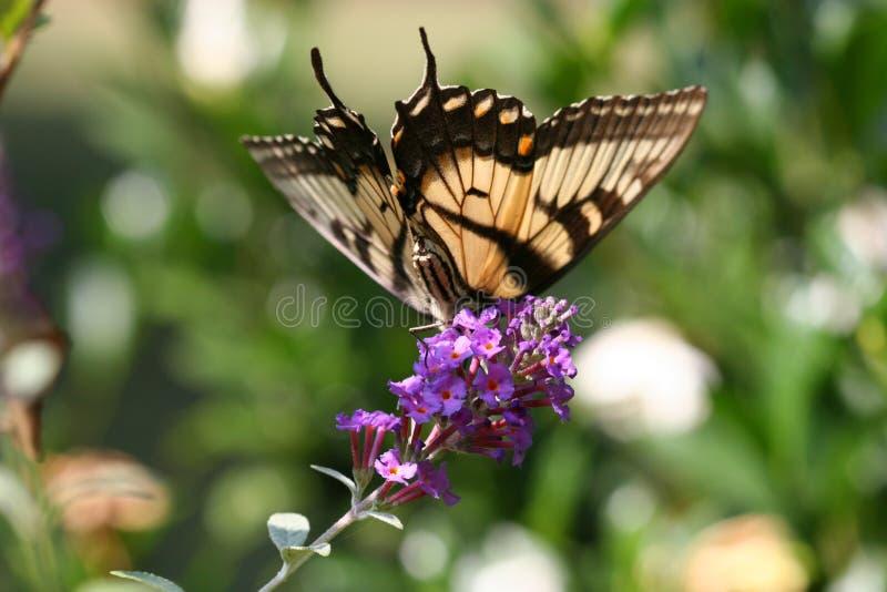 swallowtail zanurzenia zdjęcie royalty free