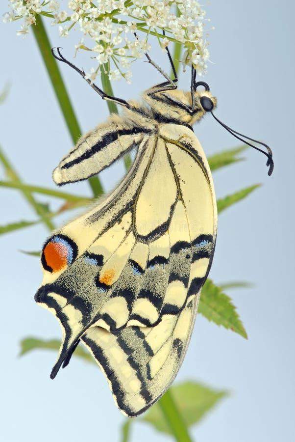 swallowtailumbellifera arkivbilder