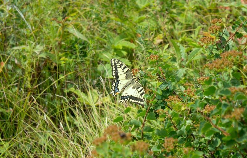 Swallowtailvlinder in Altai-bergen royalty-vrije stock fotografie