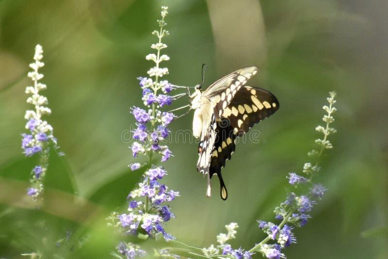 Swallowtailvlinder op Vitex royalty-vrije stock fotografie