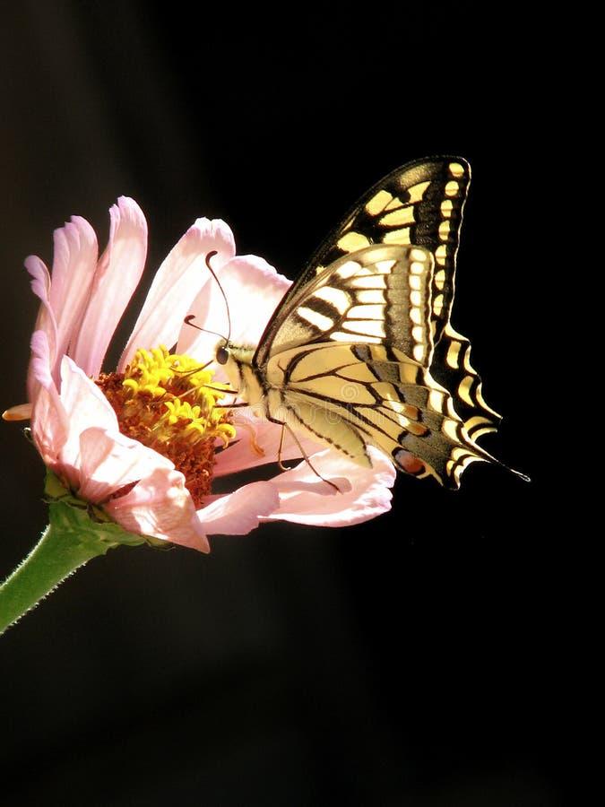 Swallowtailvlinder op Zinnia 2 royalty-vrije stock foto's