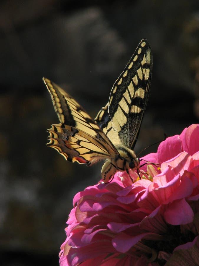 Swallowtailvlinder op Zinnia 4 royalty-vrije stock afbeelding