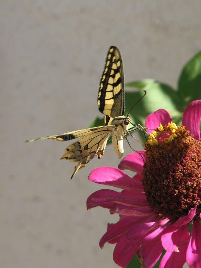 Swallowtailvlinder op Zinnia 3 royalty-vrije stock foto