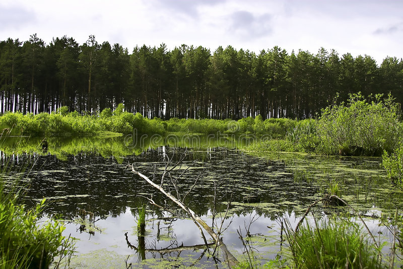 Download Swamp stock image. Image of pine, nature, natural, beauty - 156107