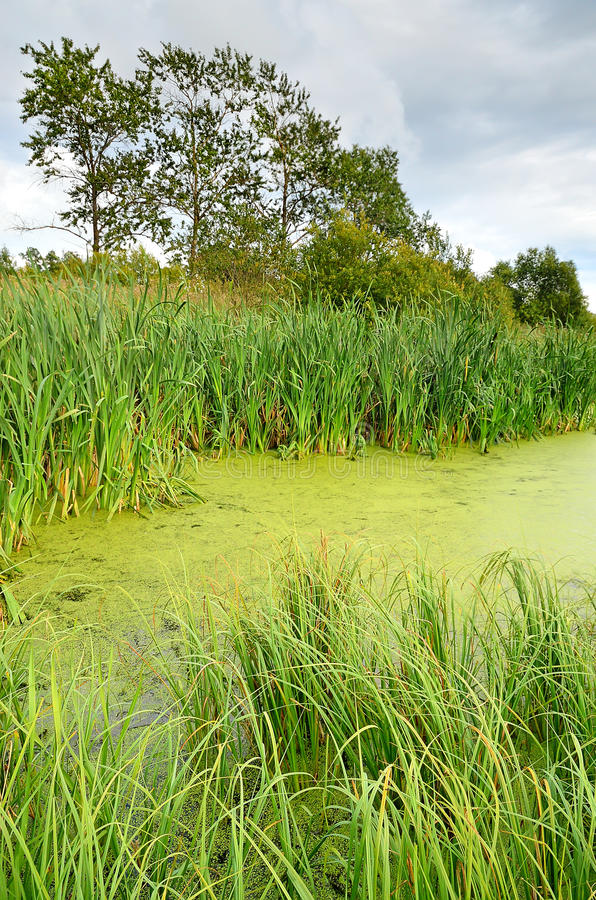 The swamp. The lush green grass in the swamp royalty free stock photo