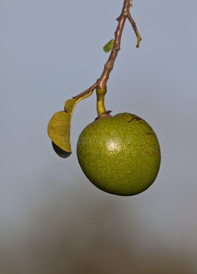 Download Swamp apple stock image. Image of pond, apple, food, green - 16128293