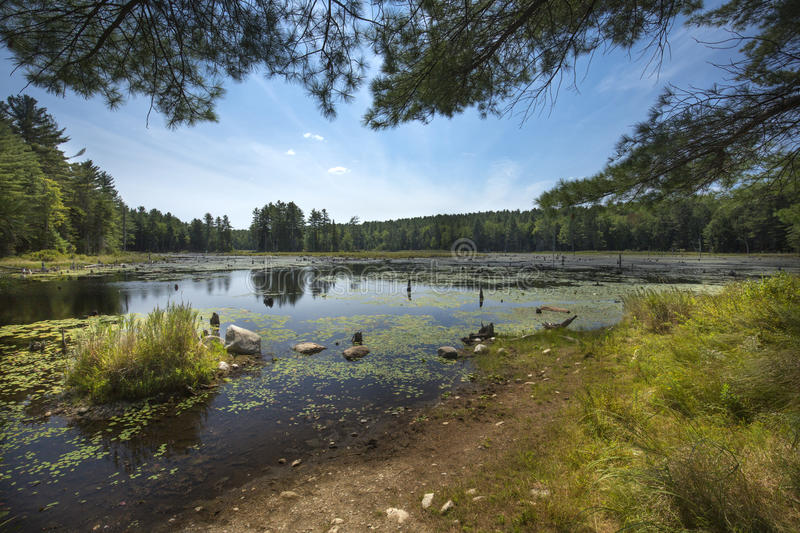 Swamp with beaver pond in New London, New Hampshire. stock photos
