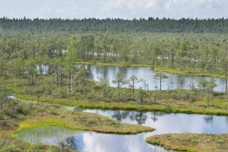 Swamp, birches, pines and blue water. Evening sunlight in bog. Reflection of marsh trees. Fen, lakes, forest. Moor in summer royalty free stock photos