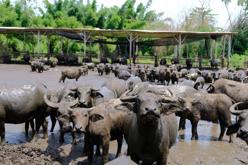 Swamp buffalo stock photo