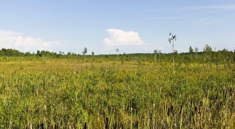 swamp bulrush stock image