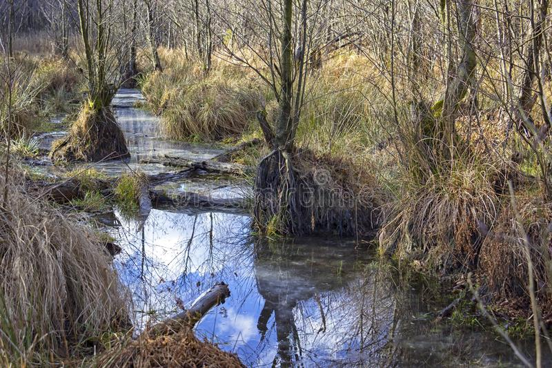 A swamp is a wetland that is forested with alder trees, Brandenburg. Swamp or carr in winter. A swamp is a wetland that is forested with alder trees, covered by royalty free stock photos