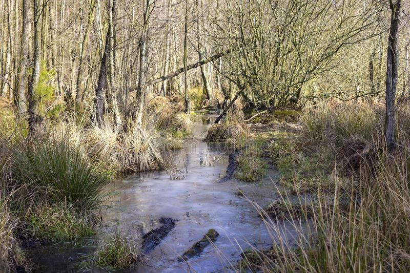 A swamp is a wetland that is forested with alder trees, Brandenburg. Swamp or carr in winter. A swamp is a wetland that is forested with alder trees, covered by royalty free stock images