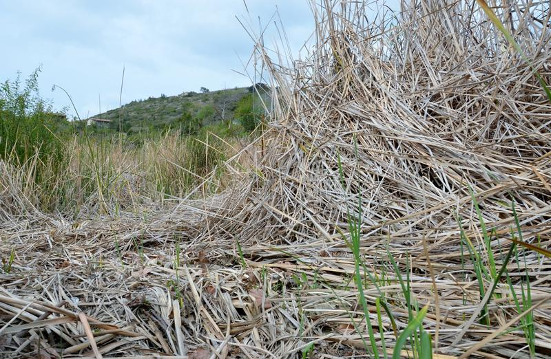 Download Swamp on a dry day stock photo. Image of reed, reeds - 23531544