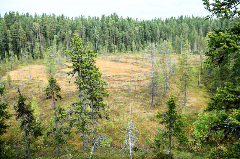 Swamp in evergreen forest at summer stock image