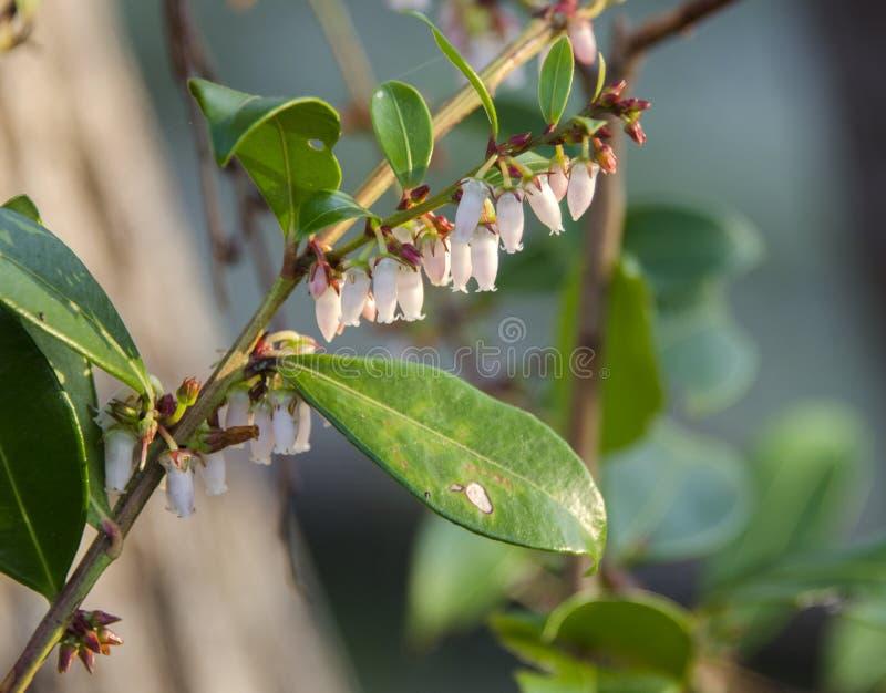 Swamp Fetterbush flowers, Okefenokee Swamp National Wildlife Refuge royalty free stock photos