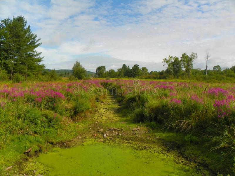 Swamp filled with Purple Loosestrife around dry channel. End of summer brings heat and little rain. Swamps dry out, invasive wildflowers create contrasting color stock image