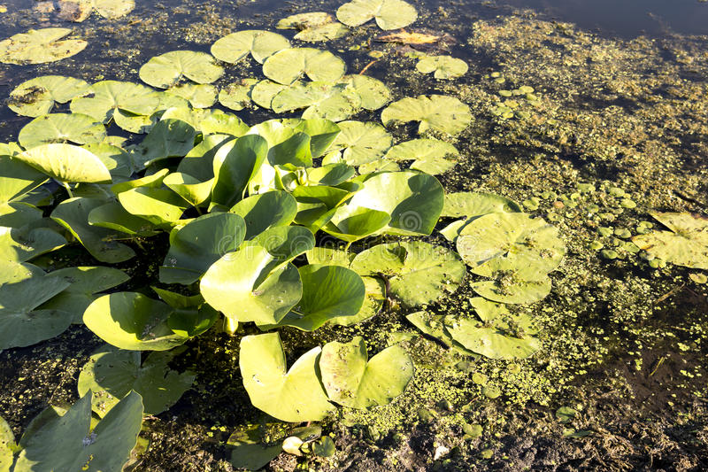 Swamp and floating leaves. Freshwater swamp and floating leaves in Serbian national park stock photo
