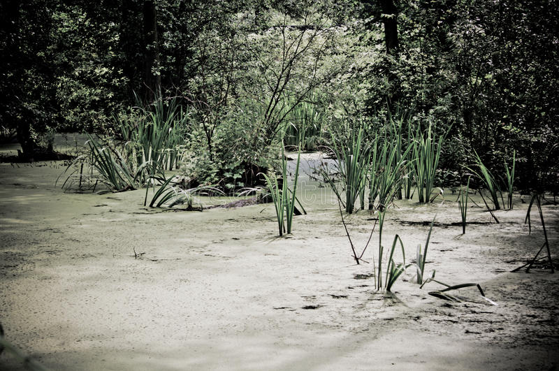 Swamp In The Forest Royalty Free Stock Image
