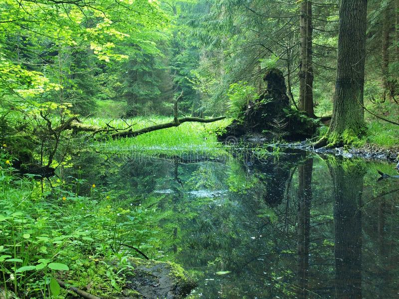 Swamp in forest. Fresh spring green color. Bended branches above water, reflection in water level, stalks of herbs stock photography