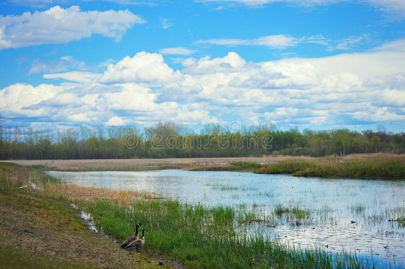 Swamp with Geese. Two geese standing by some wetland swamp at the Barkhausen Wildfowl Preserve in Suamico, Wisconsin on a beautiful, blue sky, puffy cloud day stock photography