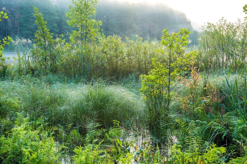 Swamp greenery. Early misty sunrise stock image