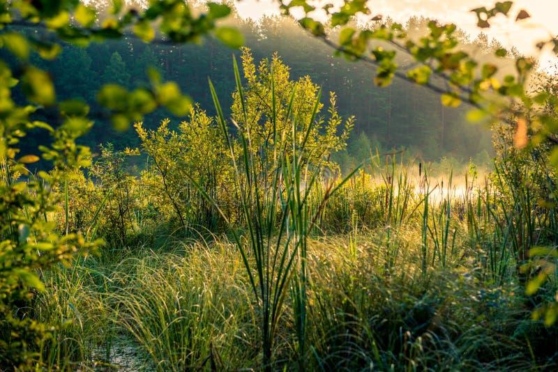 Swamp greenery. Early misty sunrise royalty free stock images