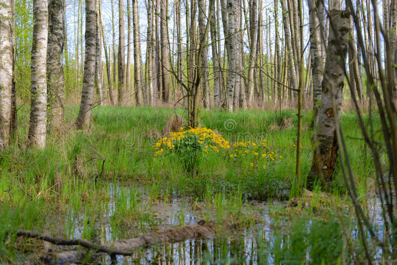 Swamp. This swamp has punctured into summer look stock photo