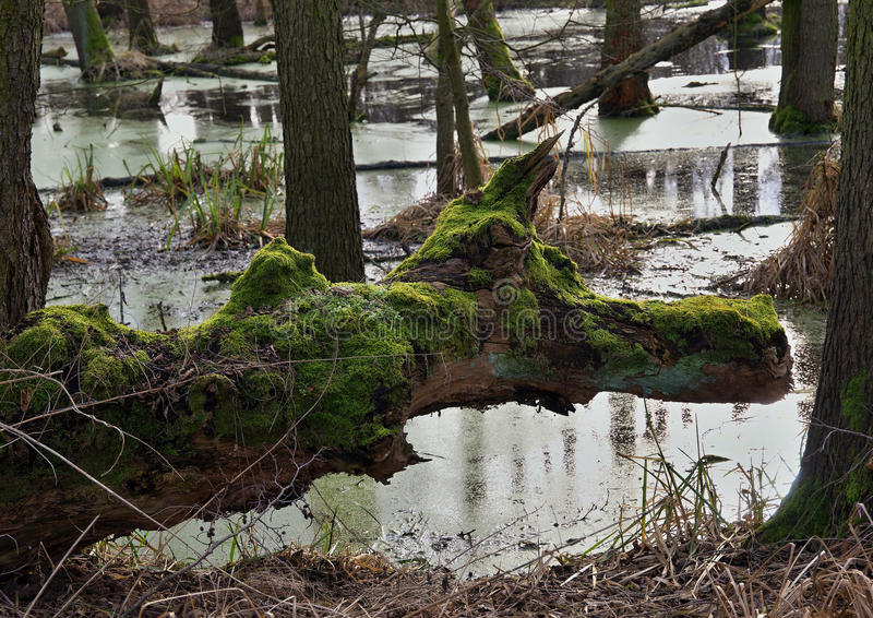 The swamp royalty free stock images