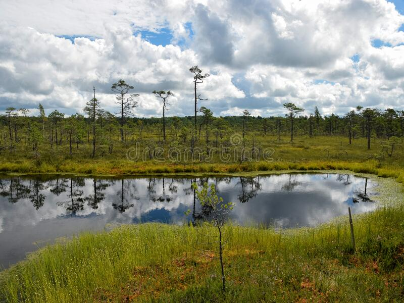 Swamp lake, small swamp pines, grass and moss, white clouds shine in water. Landscape with swamp lake, small swamp pines, grass and moss, white clouds shine in royalty free stock photo