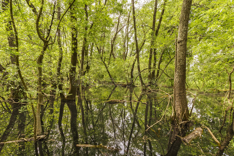 Swamp in Letea Forest royalty free stock photo