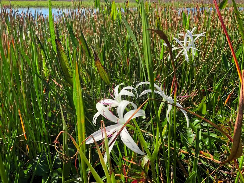 Swamp lily flower. Swamp Flowers and reflections of the trees in a river stock photo