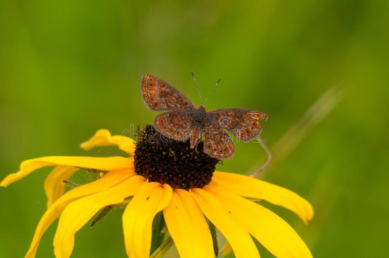 Swamp Metalmark Butterfly. Feeding on wildflowers stock photos
