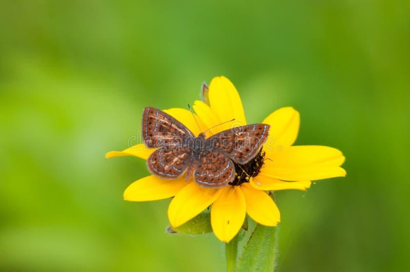 Swamp Metalmark Butterfly. Feeding on wildflowers royalty free stock photography