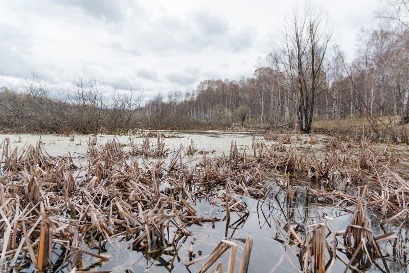 swamp O pântano na madeira Reservatório seco Tempo de Zasushlevy foto de stock royalty free