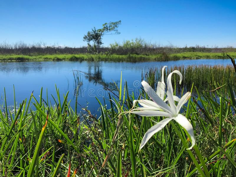 Swamp plants and cypress trees on the shore of the river. Swamp Flowers and reflections of the trees in a river stock photo