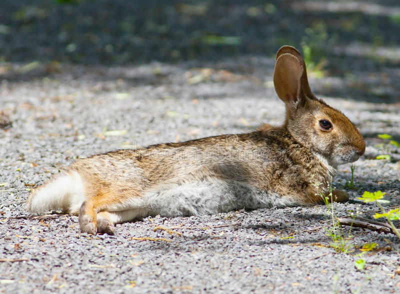 Download Swamp Rabbit stock photo. Image of southeast, aquaticus - 31279010