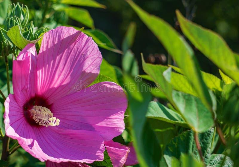 Swamp Rose Mallow, Hibiscus moscheutos stock photo