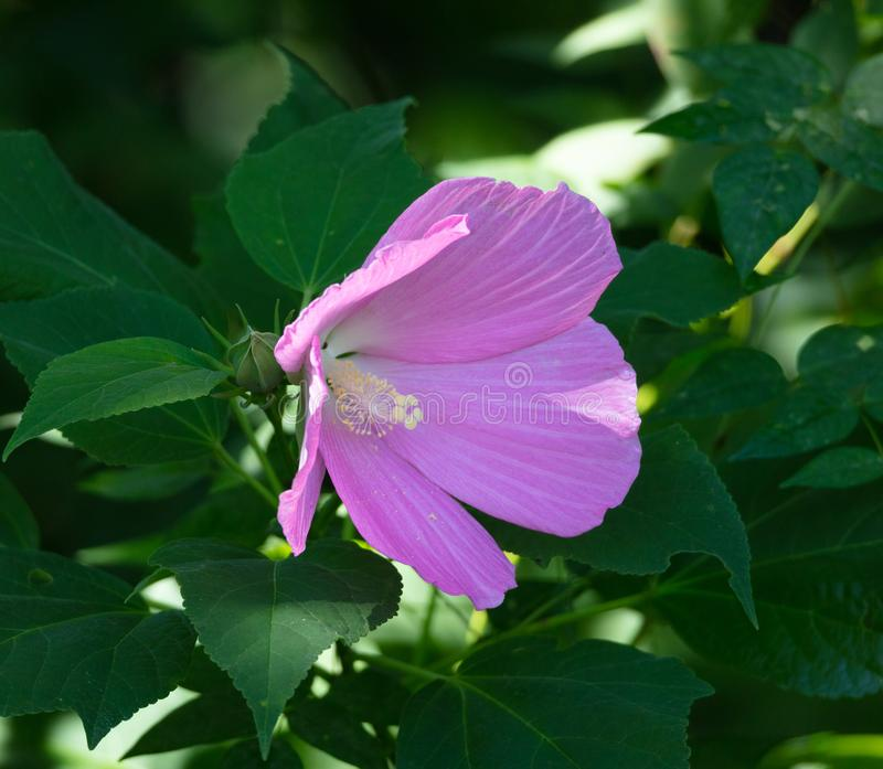 Swamp Rose Mallow royalty free stock photography